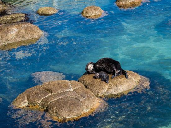 而最近一段时间,这对母子又重返水族馆,在过去几天里,许多人前来拍摄这对有爱的生物。(图片来源:蒙特利湾水族馆)