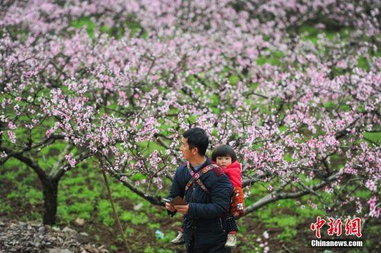 3月11日,一名游客背着孙女在桃园欣赏桃花。当日,贵州省余庆县龙溪镇举办第四届桃花节,万亩桃花盛开,吸引大量游人前来踏春赏花。 中新社记者 贺俊怡 摄