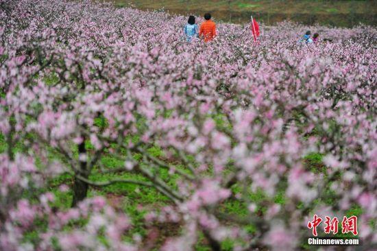 3月11日,游客在桃园欣赏桃花。当日,贵州省余庆县龙溪镇举办第四届桃花节,盛开的万亩桃花吸引大量游人前来踏春赏花。 中新社记者 贺俊怡 摄