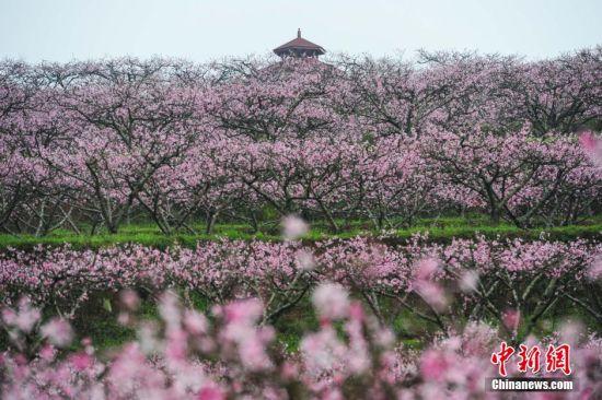 3月11日,贵州省余庆县龙溪镇葛麻坪桃园桃花盛开。当日,贵州省余庆县龙溪镇举办第四届桃花节,盛开的万亩桃花吸引大量游人前来踏春赏花。 中新社记者 贺俊怡 摄