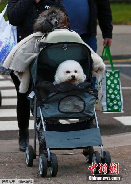 """当地时间3月10日,克鲁弗兹""""狗狗秀""""在英国伯明翰举行,来自各地的萌宠纷纷亮相。"""
