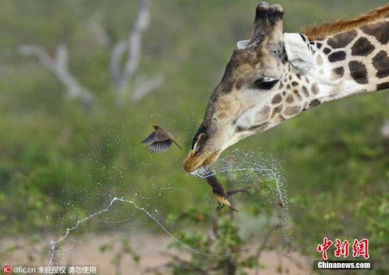 2016年3月13日消息,这只倒霉的牛椋鸟很显然在一个错误的时间出现在了错误的位置,结果被长颈鹿的一个大喷嚏弄了一身口水。当时,这头长颈鹿正在水坑边喝水,而牛椋鸟正在清理它的耳朵,结果它突然打了一个大喷嚏,把小鸟的用餐时间变成了淋浴时间。图片来源:东方IC 版权作品 请勿转载