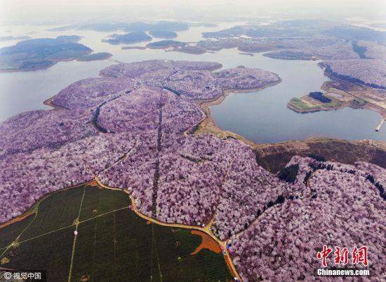3月15日,冬去春来,贵州省贵阳红枫湖畔万亩花海争相开放。贵阳红枫湖畔万亩花海分二块,一块在红枫湖畔上游溪河入湖口,另一块在红枫湖中段。 图片来源:视觉中国