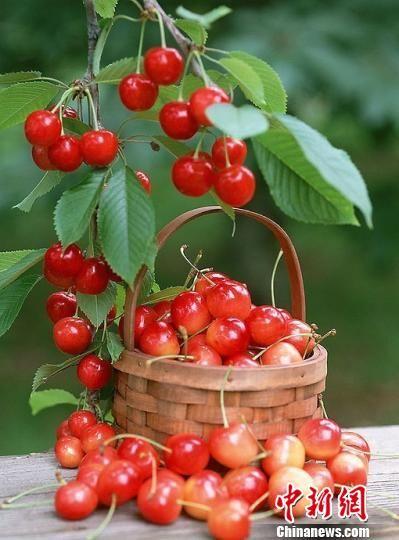 图为贵州六枝的红樱桃