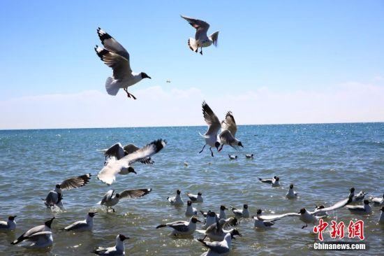 """3月24日,青海湖鸟岛景区,回归的夏候鸟红嘴鸥飞翔嬉戏。青海湖开湖分为""""文开""""和""""武开"""",2016年青海湖开湖属""""文开""""。""""文开""""是指封冻一冬的青海湖随周边气温升高,缓慢融化,而""""武开""""则为在猛烈季风下,湖面冰层破裂被相互挤压着推向岸边。气象资料显示2016年青海湖开始解冻日期较去年推迟27天,较历年开湖日期平均(2003~2015年)提前了8天。 中新社记者 罗云鹏 摄"""