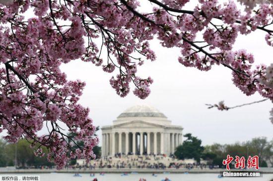 当地时间2016年3月27日,美国华盛顿,潮汐湖畔樱花盛开,民众游玩赏花。