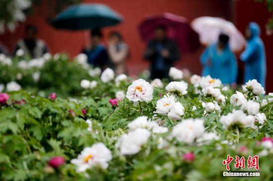 4月12日,洛阳牡丹与故宫博物院牡丹题材文物联展在故宫博物院开展,以花卉为主题的展览在故宫博物院尚属首次举办。中新社记者 杜洋 摄