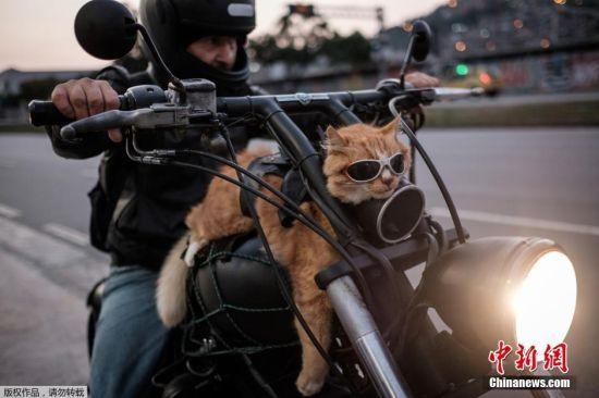 """当地时间6月19日,巴西里约,一名摩托车手和自己12岁的猫""""切奎尼奥""""一起兜风,据悉这只猫咪经常和主人一起骑摩托车出行。"""