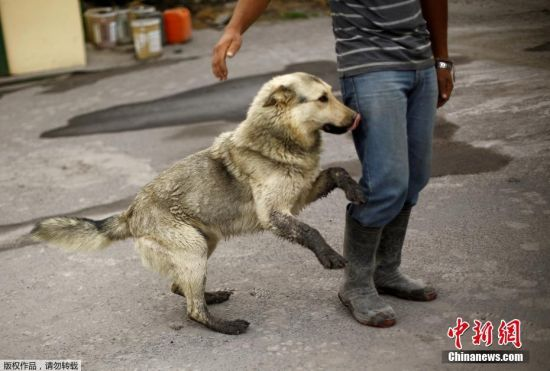 动物也没能逃过火山灰的侵袭,一只白狗被火山灰弄成了黑色。