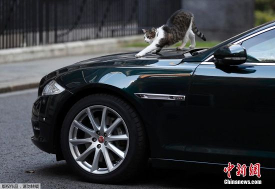 """当地时间9月22日,英国伦敦,英国""""首席捕鼠官""""拉里蹲在英国首相特蕾莎・梅的专车上,像是在帮首相看车。"""