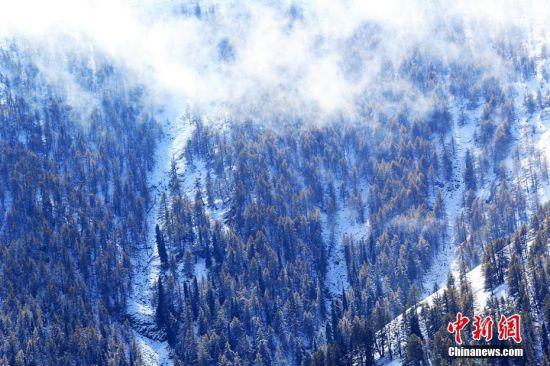 """9月24日到25日,沿天山一带受冷空气影响出现降雪,温度降到零摄氏度以下。这是2016年入秋以来,地处新疆东大门的哈密降下的第一场雪。深秋九月,挺拔的松树正值金黄与翠绿相互映衬,渲染着天山秋意渐浓。突来的大雪添加了松林的色彩,绚丽多彩的天山更让游人感受""""十里不同天""""的神秘。图为雪后的水蒸气在阳光的照耀下就像云一样随风飘动。 曹新加 摄"""