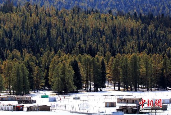 """9月24日到25日,沿天山一带受冷空气影响出现降雪,温度降到零摄氏度以下。这是2016年入秋以来,地处新疆东大门的哈密降下的第一场雪。深秋九月,挺拔的松树正值金黄与翠绿相互映衬,渲染着天山秋意渐浓。突来的大雪添加了松林的色彩,绚丽多彩的天山更让游人感受""""十里不同天""""的神秘。图为阳光照射下的松林。 曹新加 摄"""