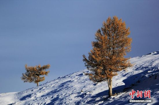 """9月24日到25日,沿天山一带受冷空气影响出现降雪,温度降到零摄氏度以下。这是2016年入秋以来,地处新疆东大门的哈密降下的第一场雪。深秋九月,挺拔的松树正值金黄与翠绿相互映衬,渲染着天山秋意渐浓。突来的大雪添加了松林的色彩,绚丽多彩的天山更让游人感受""""十里不同天""""的神秘。图为映着清晨阳光的树木。 曹新加 摄"""