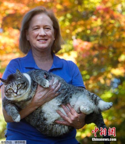 当地时间2016年9月29日,美国沃特维尔谷度假区,当地酒店有一只8岁的猫咪,名叫Logan,它的体重达到了31磅(约14公斤),巨型的体积很是吸引游客的注意,不仅如此Logan还红到了网络上,成了重量级网红。