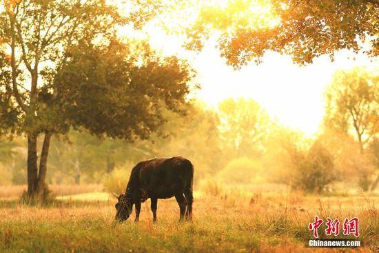 金秋十月,位于新疆生产建设兵团第十师北屯市境内的额尔齐斯河流域,进入一年内最炫彩的时节,金黄色的树叶一半挂在树梢一半掉落铺满草地,成了秋日里牛群觅食的天堂。在阳光的照耀下,它们或悠闲觅食,或驻足观望,成为额尔齐斯河河畔一道亮丽的风景。陈洋 摄