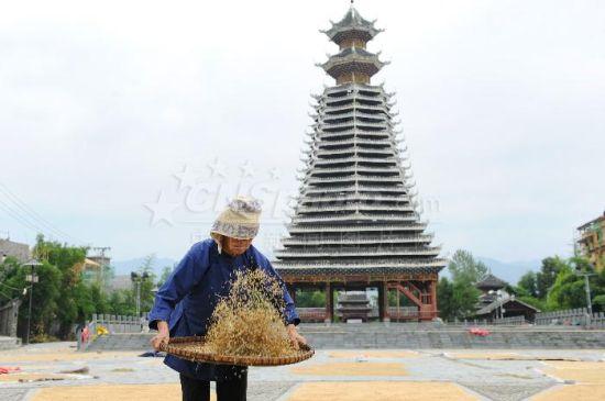 当下正值贵州省榕江县车江乡坝区晚稻收成时节,三宝侗寨民众晾晒的