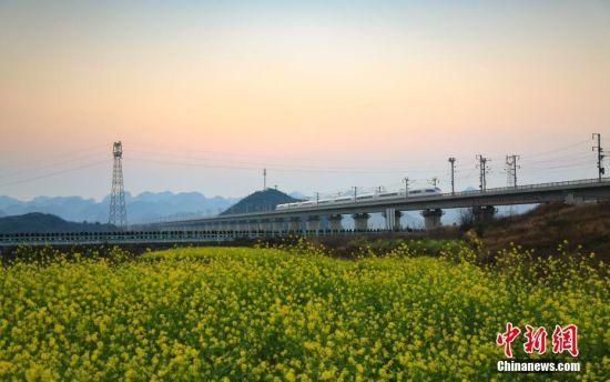2月16日,一列沪昆高铁列车在贵州安顺境内的油菜花田前驶过。随着气温回升,沪昆高铁贵州省安顺市境内沿线的油菜花竞相绽放,处处春意盎然。 中新社记者 贺俊怡 摄