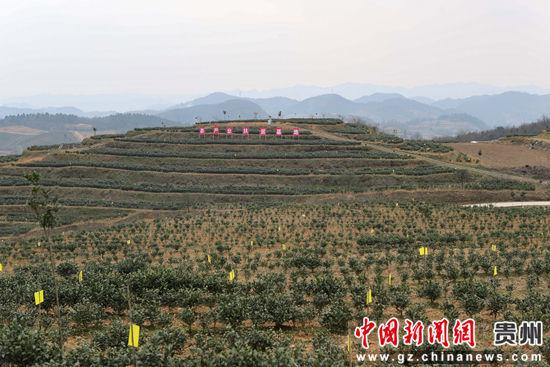 重庆时时彩开奖记录:贵州瓮安茶产业助农民增收