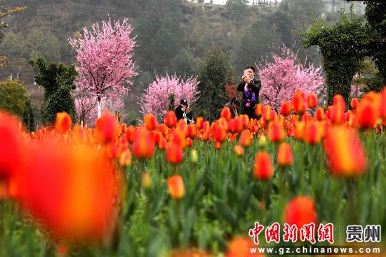 游客在贵州龙架山国家森林公园郁金香花丛中赏花。王立信摄