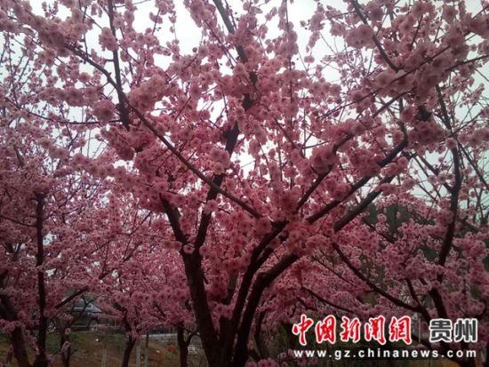 图为春暖花开,樱花谷内樱花竞相绽放。 王振 摄