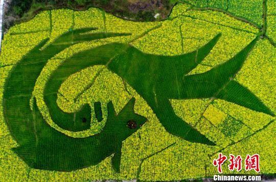 """图为油菜花和小麦套种组成约60亩的""""龙凤呈祥""""图案。 陈碧生 摄"""