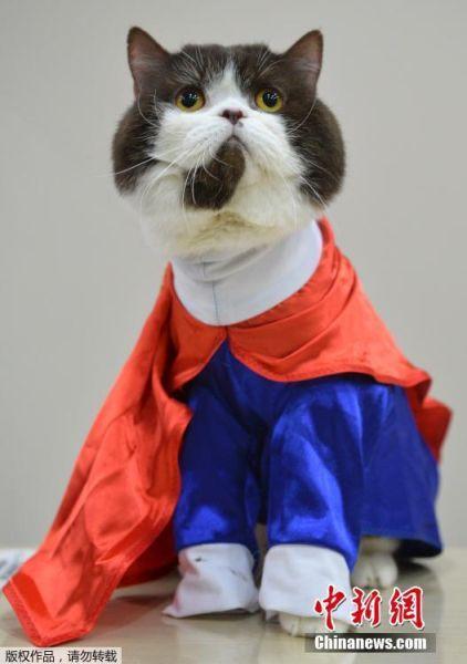 当地时间2017年3月19日,吉尔吉斯斯坦比什凯克,国际猫展举行,各路喵星人争相扮酷剥眼球