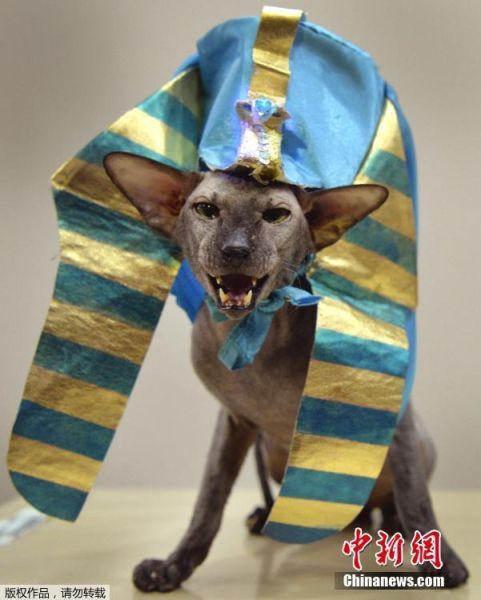 当地时间2017年3月19日,吉尔吉斯斯坦比什凯克,国际猫展举行,各路喵星人争相扮酷剥眼球。