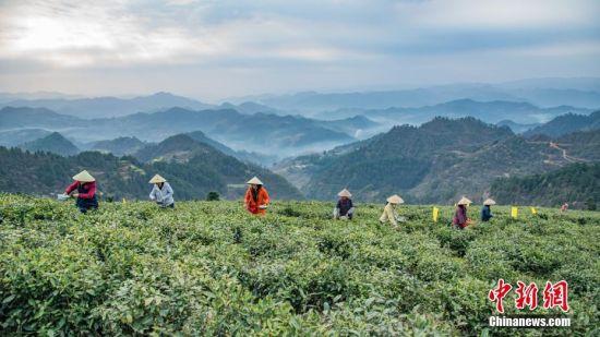 3月27日,清明节前夕,贵州省岑巩县客楼镇海拔1100多米的仙境坡上,茶农
