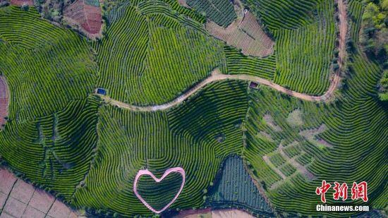4月12日,航拍贵州凤冈知青文化园的茶山。贵州省凤冈县何坝镇知青茶山,发展以知青文化为主题的文化园,吸引游客前来追寻回忆,2016年年接待游客8万人次,知青茶山种植的有机生态茶叶2014年获得有机认证,远销海内外,辐射带动884户3512人增收致富。 中新社记者 贺俊怡 摄
