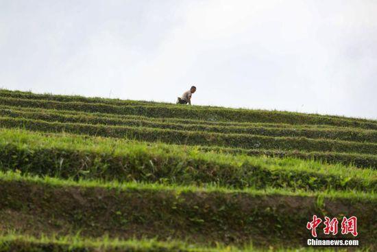 """4月20日,贵州省榕江县计划苗寨村外,民众在田间劳作。当日是农历""""谷雨""""节气,气温回升,贵州省榕江县农民抢抓农时,进行春耕春播。中新社记者 贺俊怡 摄"""