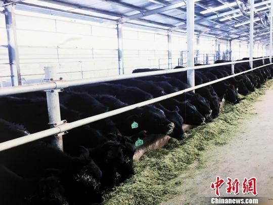 大方纯种安格斯牛育种场。 杨云 摄