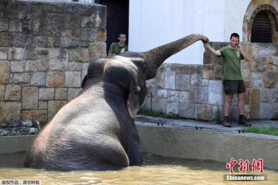"""匈牙利大象水池玩耍降温 """"大家伙""""打滚卖萌--贵州新闻网www.hg1260.com"""