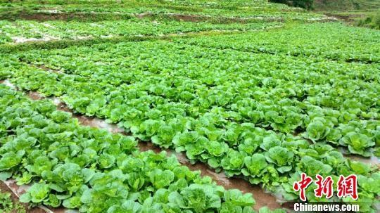 幸运飞艇官方投注网址:贵州纳雍蔬菜送上香港餐桌