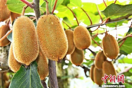 贵州修文猕猴桃首飞台北。 易国琼 摄