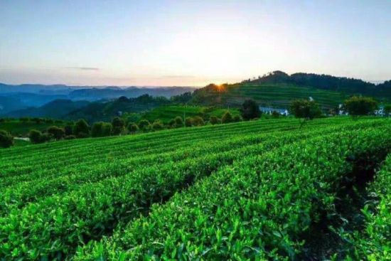 开阳县茶园一景。