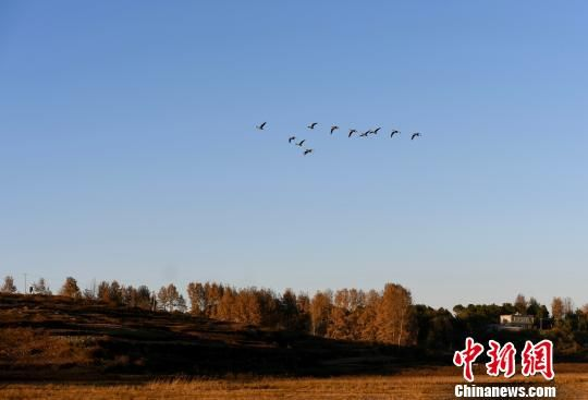 在草海过冬的候鸟 王炳真 摄