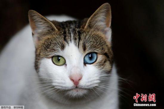 在土耳其的伊斯坦布尔,随处可见猫的身影。在每条街道的每个巷口,总有猫咪在闲逛,或是懒洋洋的晒太阳。当地居民和游客也习惯了这些可爱的邻居,猫咪们已经成为这个欧洲最大城市不可分割的一部分。图为一只猫咪待在伊斯坦布尔一角消化食物,刚刚有本地居民给它带来了一顿饱餐。