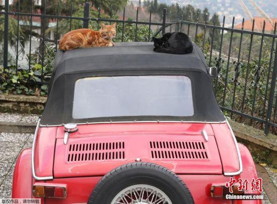 """伊斯坦布尔是猫的天堂,整个城市有上千只流浪猫在街上闲逛。有人曾说:""""来到伊斯坦布尔,你或许会错过一些风景,却很难错过猫。""""图为趴在车顶休息的两只猫咪。"""