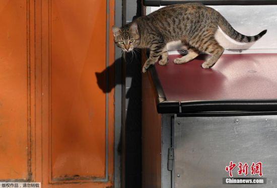 伊斯坦布尔街头,一只准备跳跃的猫。