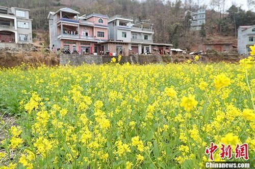 油菜花田与村民的新居相映成趣。 中新社记者 贺俊怡 摄