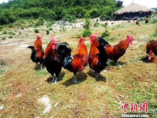 贵州省福泉市仙桥乡的山地草棚鸡养殖。 福轩 摄