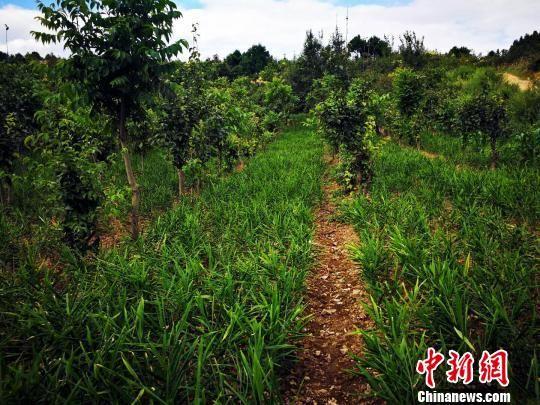 贵州省福泉市仙桥乡的经济作物种植。 福轩 摄