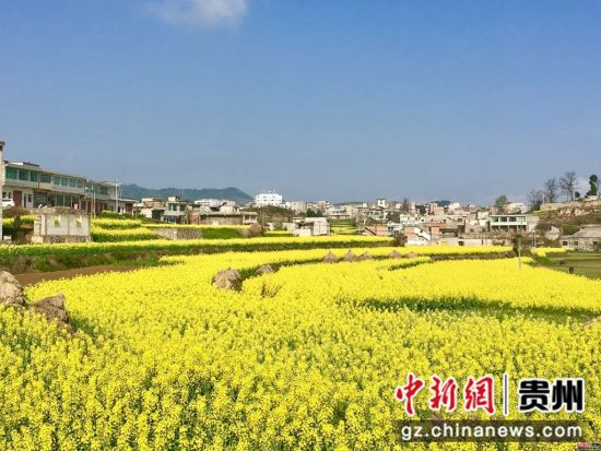 3月,贵州省毕节市黔西县金碧镇,万亩油菜花盛开,点缀乡村,成为春天美景吸引远近游客游春赏花。杨云 摄