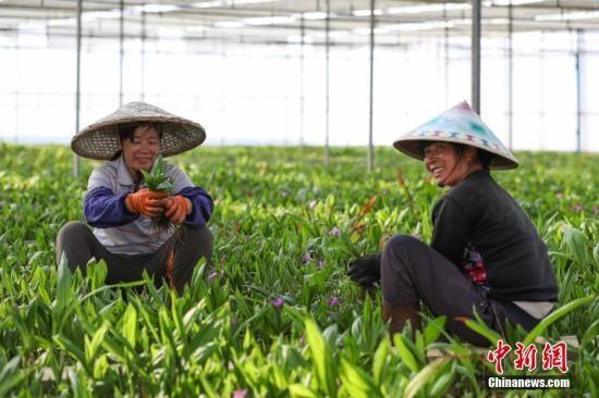 """资料图:苗族妇女在白芨种植大棚内劳作。现代中药材种植已成为贵州省丹寨县农村精准脱贫的""""新路子""""。中新社记者 贺俊怡 摄"""