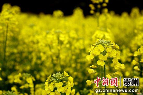 施秉县城关镇白塘村赖洞坝组的油菜花鲜艳夺目。奉力摄