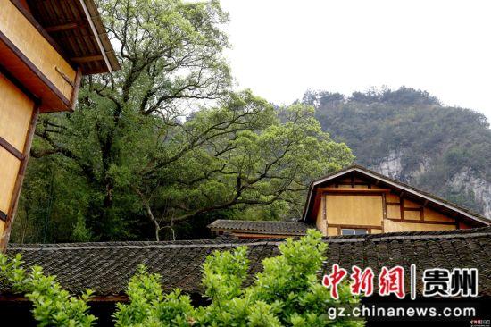 """施秉县城关镇白塘村赖洞坝组这株""""龙树""""是传说中他们的""""根""""和护佑。"""