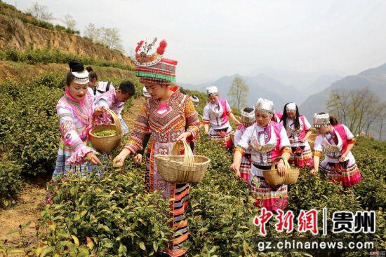 贵州省毕节市七星关区青场镇初都河畔茶场的万亩明前茶采摘忙。