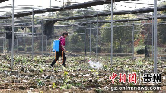 贵州省玉屏侗族自治县油茶苗圃基地,农民正在移植油茶苗.  摄 -贵州