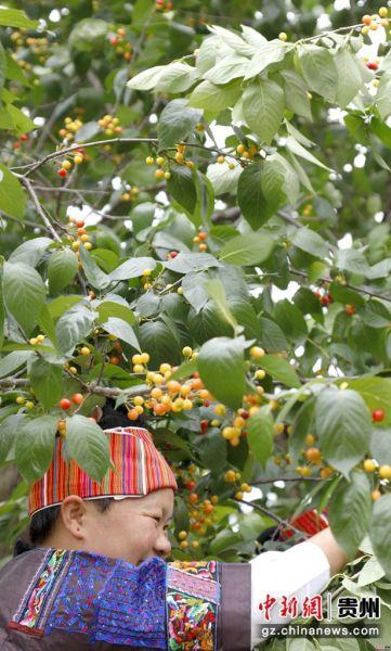 施秉黄谷村树上的樱桃开始变红。奉力 摄