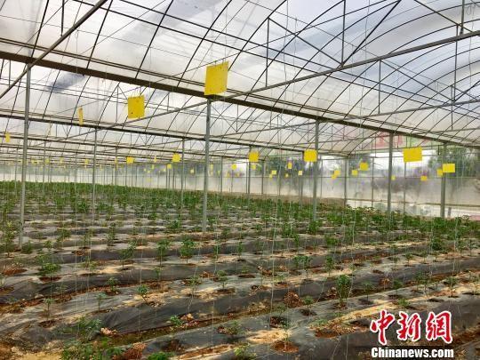 万山区建标准化蔬菜大棚基地拓宽农民致富路径。 杨云 摄